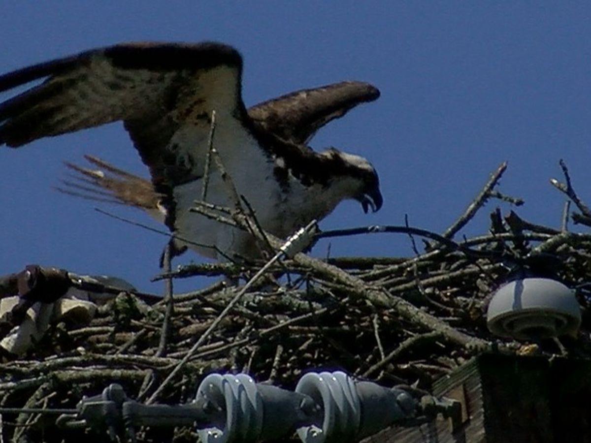 Osprey nest successfully relocated in Guntersville