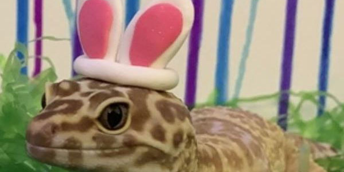 "Huntsville gecko could be the next Cadbury ""Bunny"""