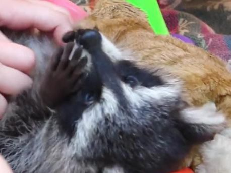 Raccoons and hot coffee are a perfect pair at this Ukrainian cafe