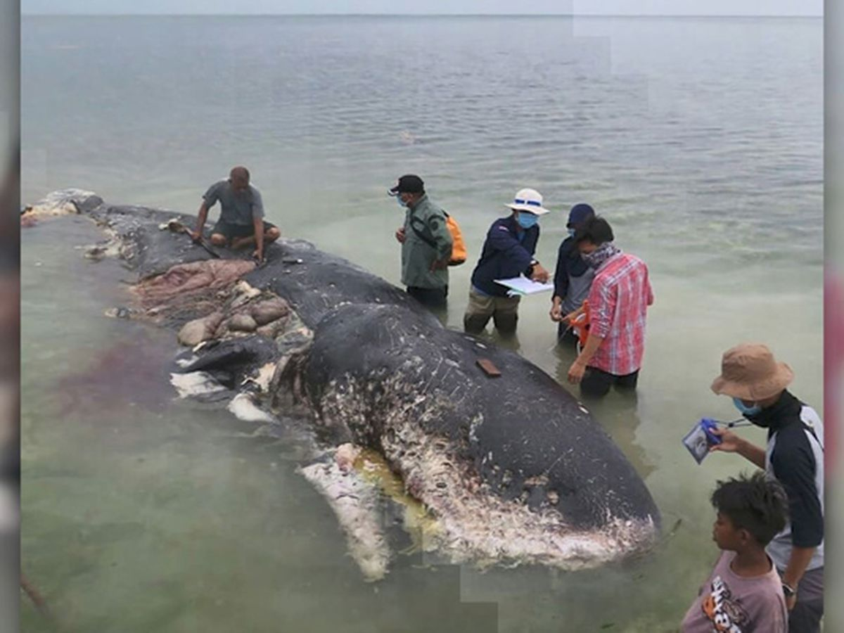 GRAPHIC: Dead whale found with 13 pounds of plastic in its stomach