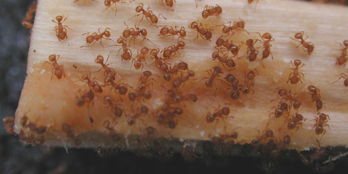 Fire ants can be a big problem this time of year