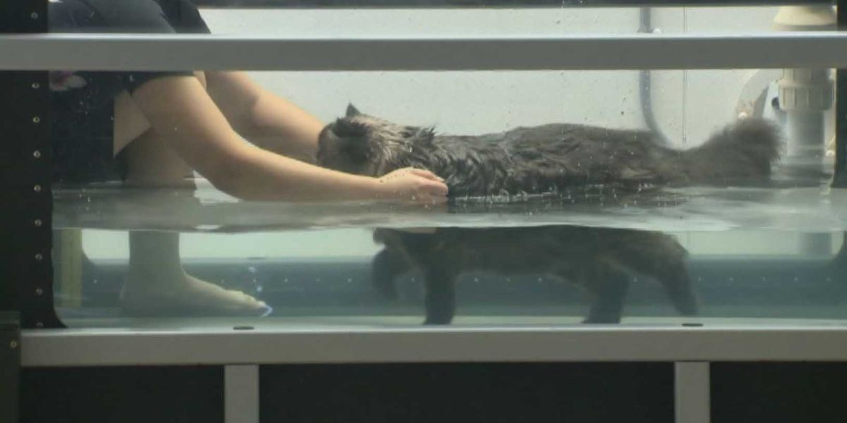 Underwater treadmill helps fat cat shed pounds