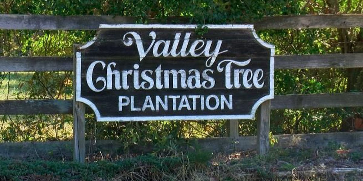 Christmas tree dealer talks live vs. artificial trees