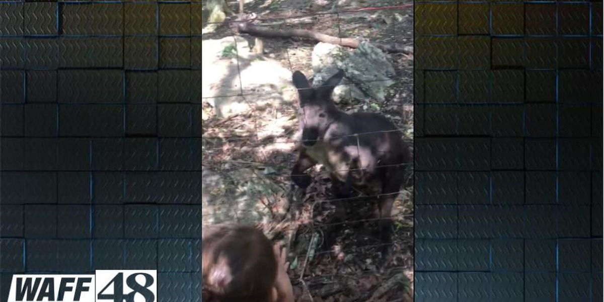 Child attacked by kangaroo at north AL animal park