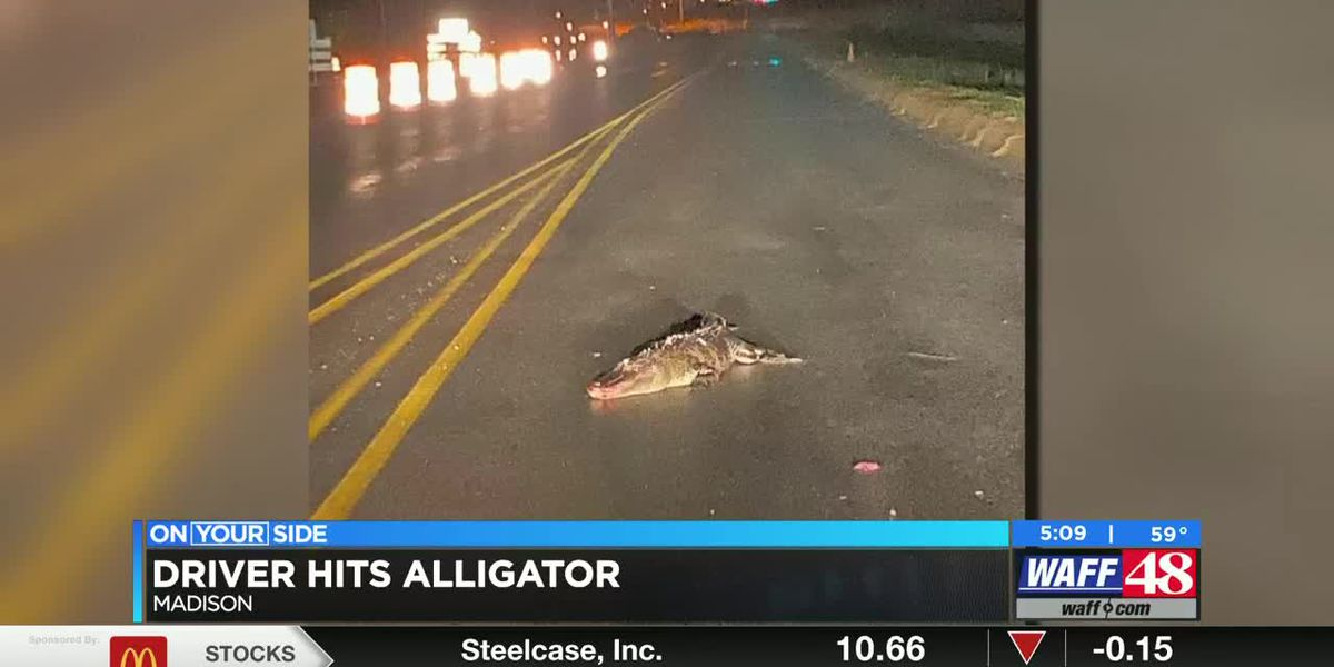 A driver accidentally hit a gator on Zierdt Road in Huntsville