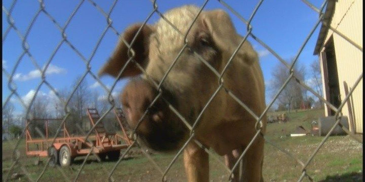 DeKalb County man accused of starving pigs
