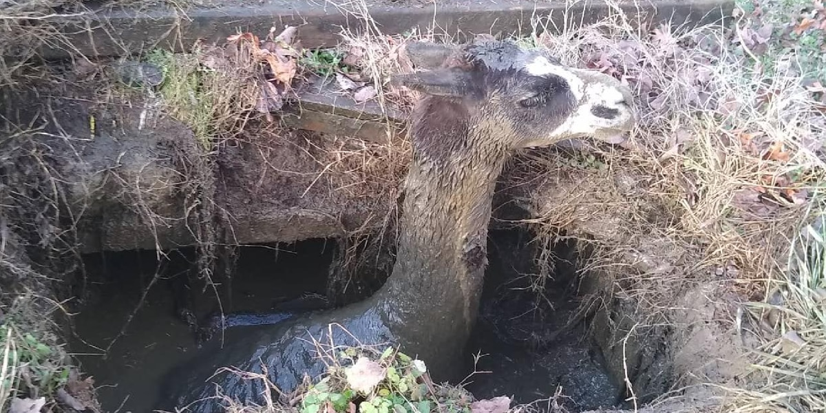Neighborhood llama rescued from a septic tank in Jackson County