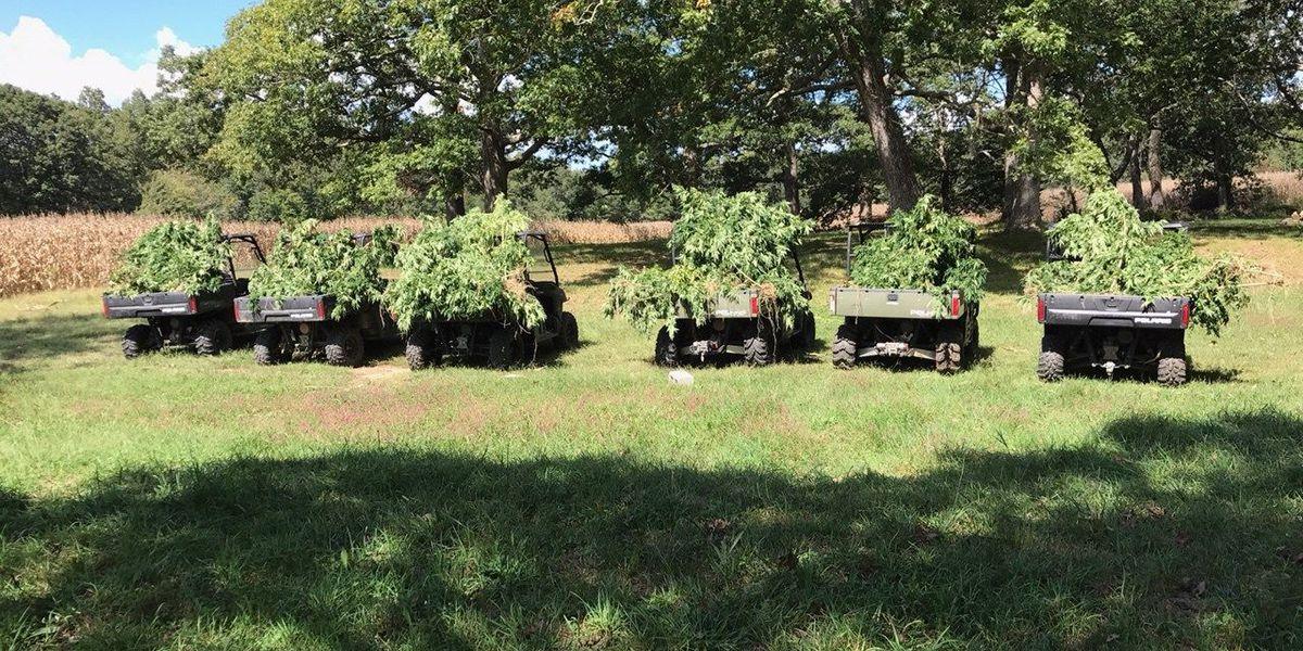 Over 1,500 marijuana plants recovered, burned in DeKalb County