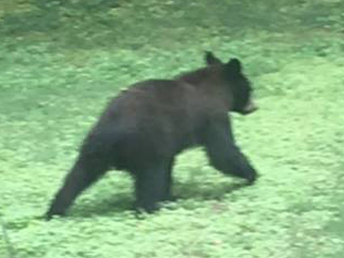 Man admits shooting Albertville bear, officials say