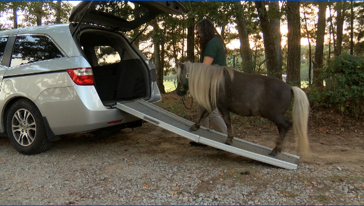 Miniature horses will start trotting into official roles as service animals in Alabama