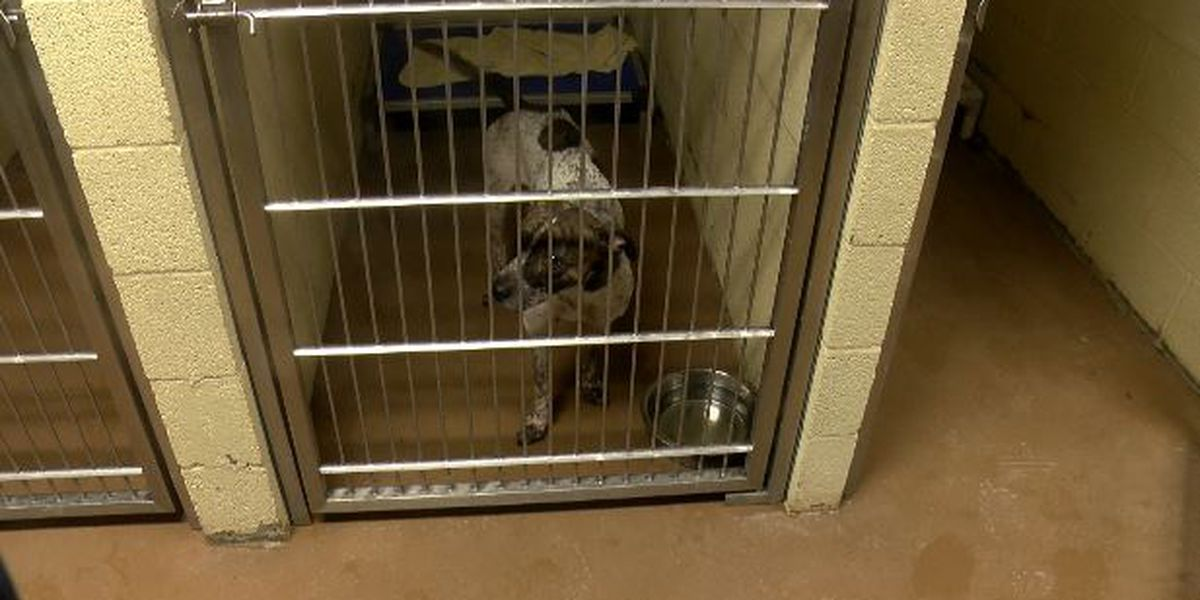 More than 30 dogs euthanized in a week at AL shelter after outbreak of deadly disease
