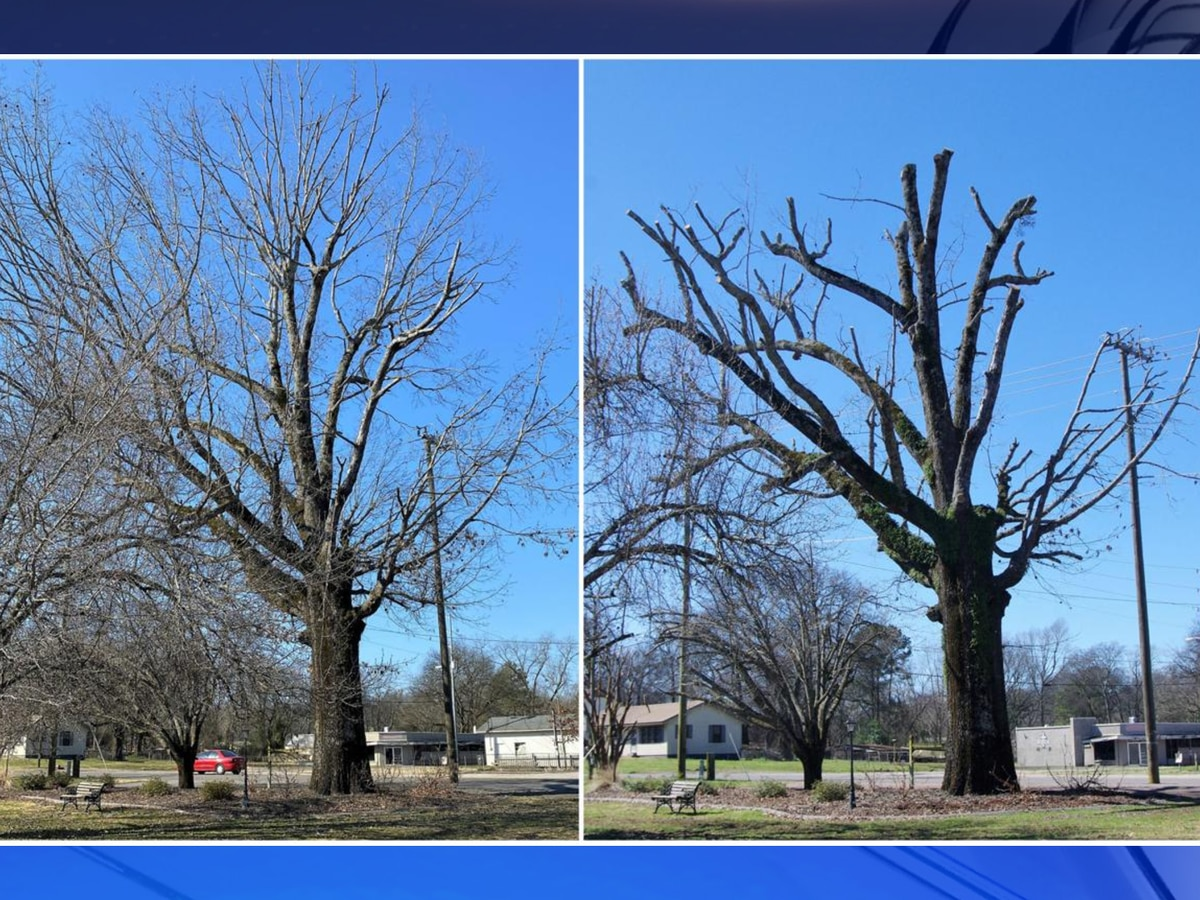 Iconic Caboose Park tree trimmed for health, public safety reasons