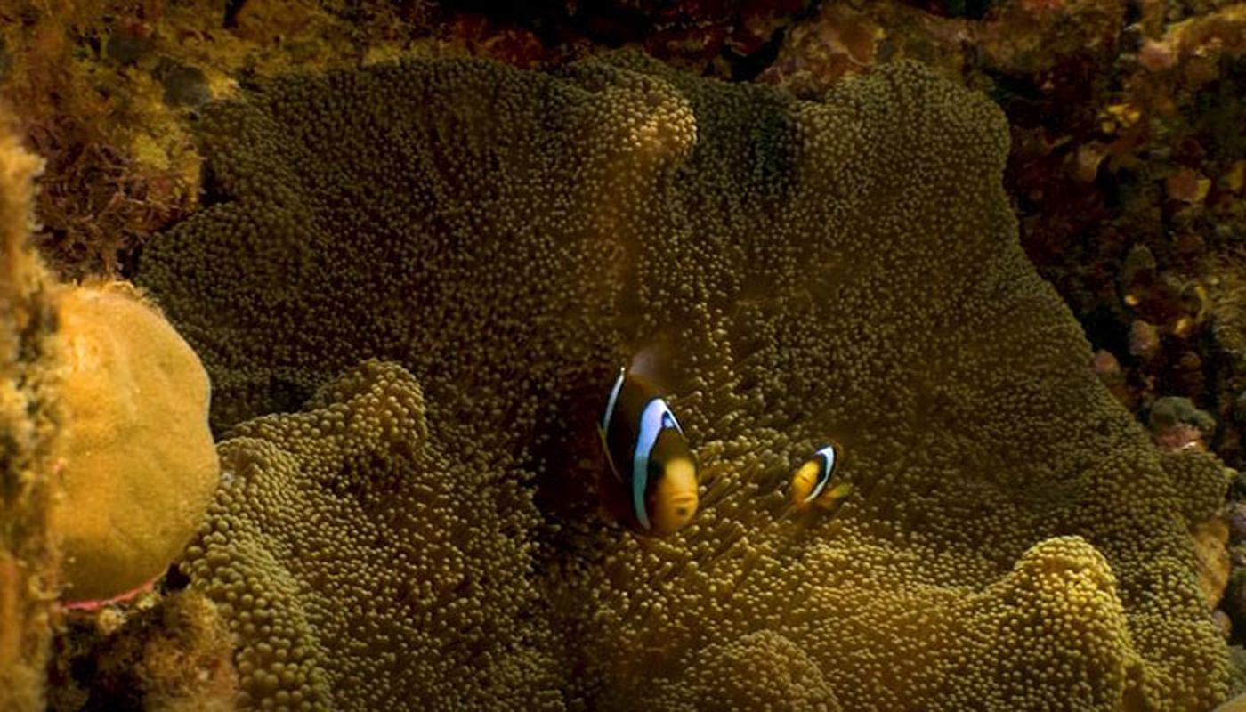 after finding nemo clownfish challenged by stardom climate change