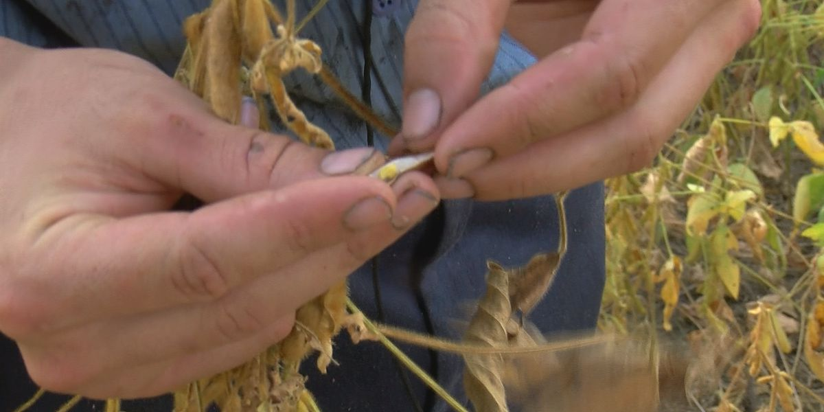 Soybean farmers battle Alabama drought conditions ahead of harvest