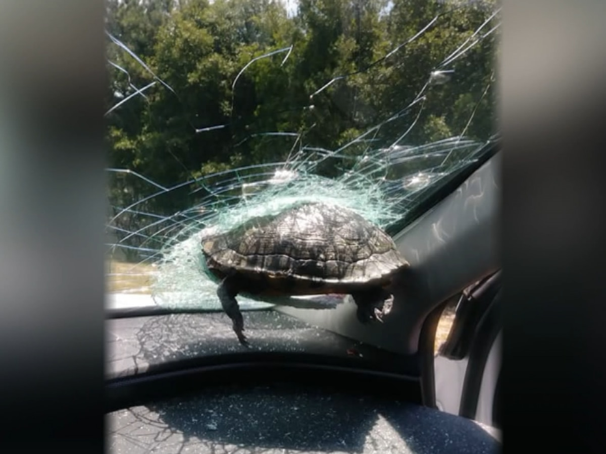 Turtle smashes through driver's windshield