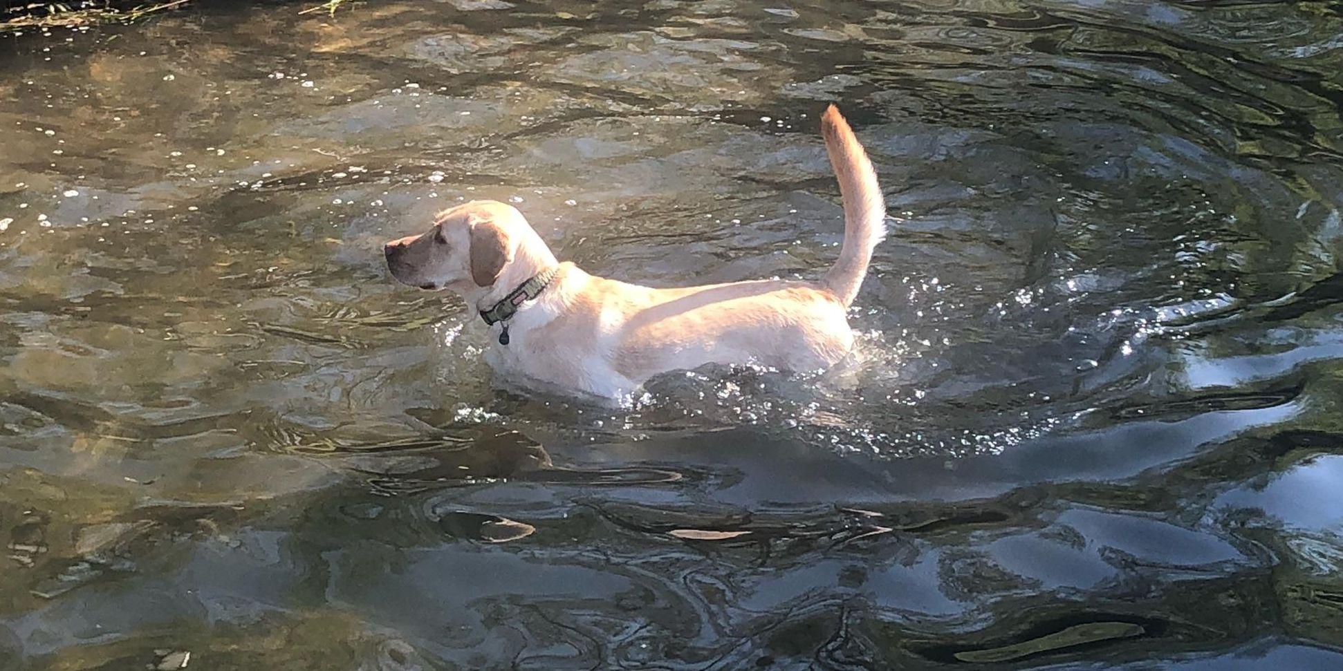 AKC lists most popular dog breeds
