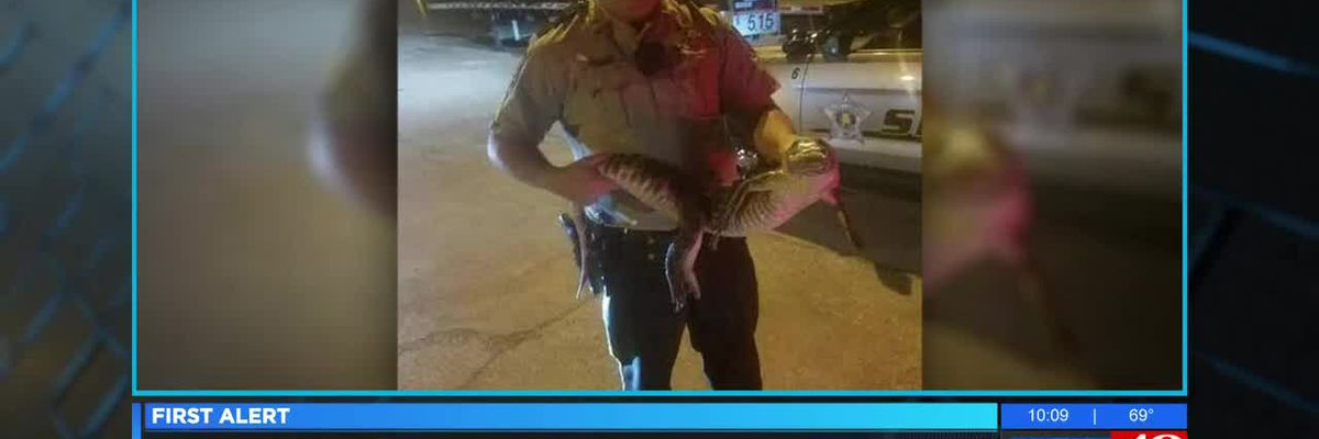 Alligator found in Lauderdale County