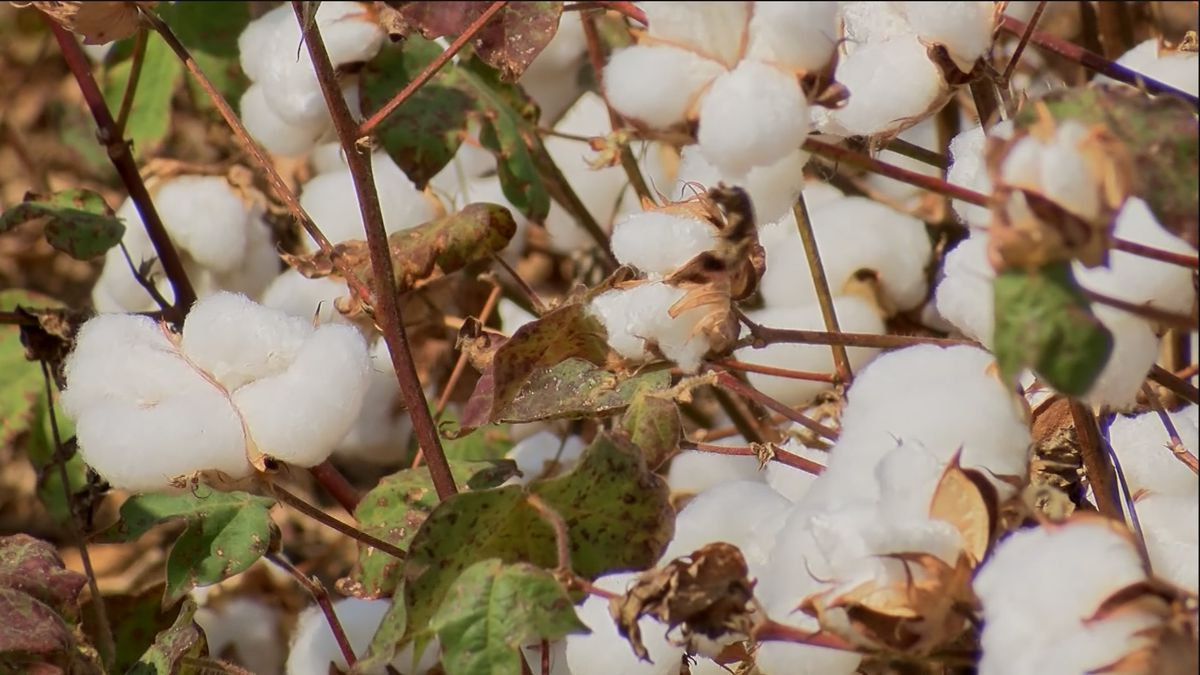 HudsonAlpha to grow cotton in space
