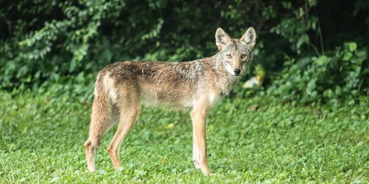 Experts warning that coyotes are out and will hunt domestic cats