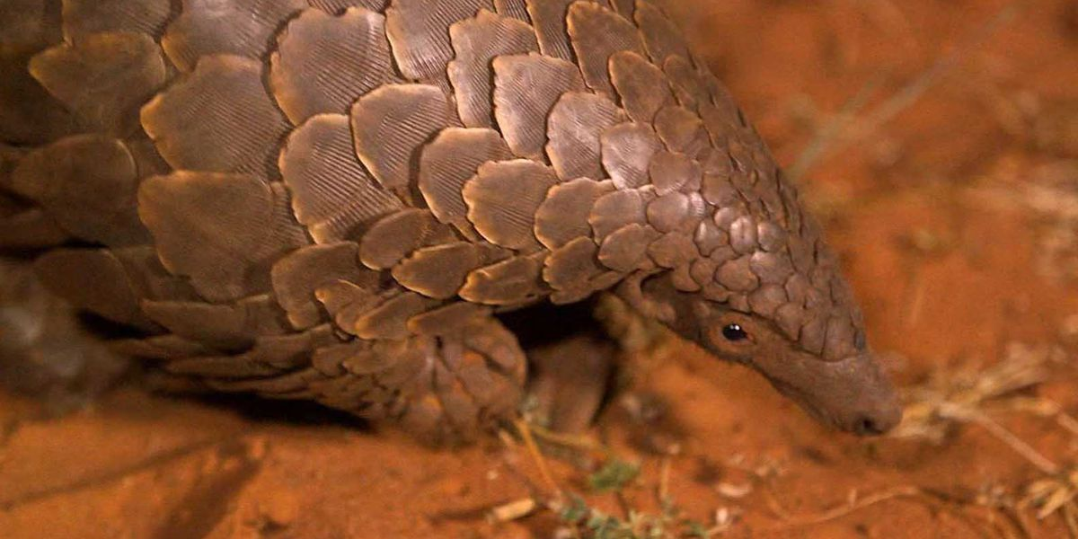 Saturday is World Pangolin Day, a time to celebrate one delightfully strange mammal