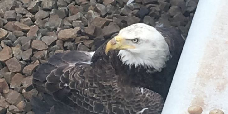 Bald eagle that had to be rescued from DC train tracks will be euthanized