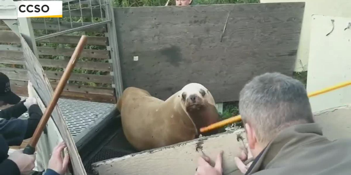 500-pound sea lion returned after wandering far from Wash. home