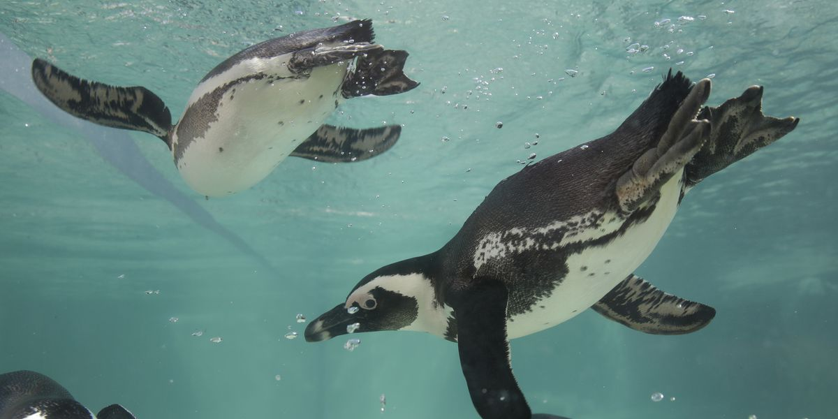 Rome zoo opens new area for African penguins
