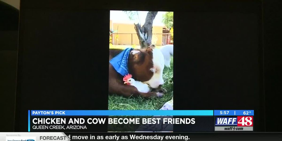 Payton's Pick: Calf and chicken become best friends!