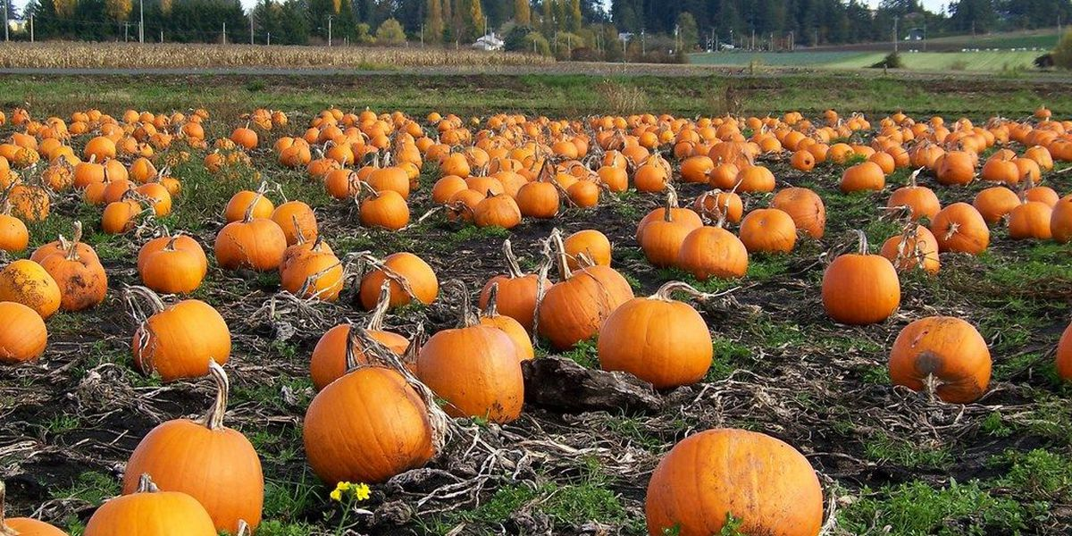 SHORTAGE: Stock up on canned pumpkin before it's gone