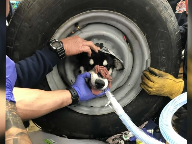 Doggonit Bam Bam: Dog gets head stuck in spare tire