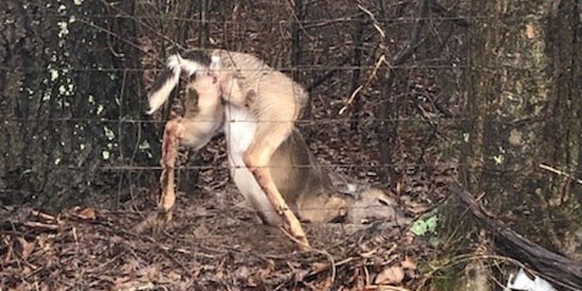 Deer rescued from fence in Morgan County