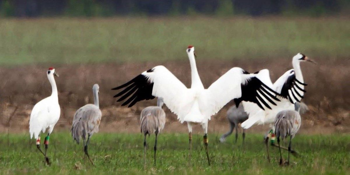 Festival of the Cranes in Decatur this weekend