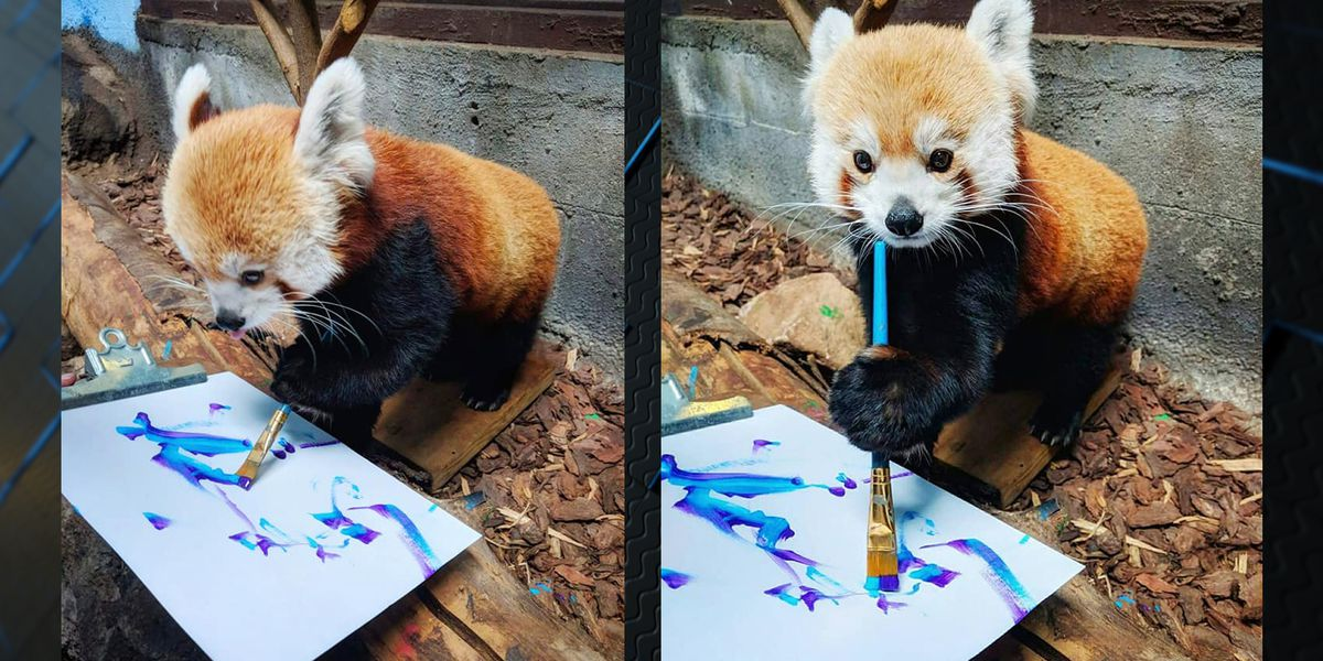 Red Panda paints at the Birmingham Zoo
