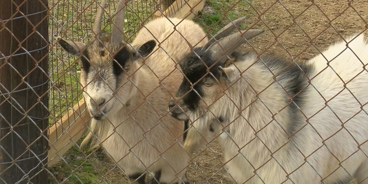 Goats up for adoption in Limestone County