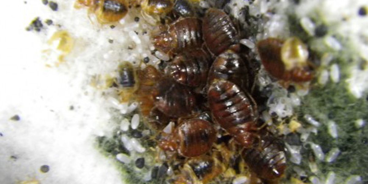 Ohio entomologist develops app to identify bed bugs