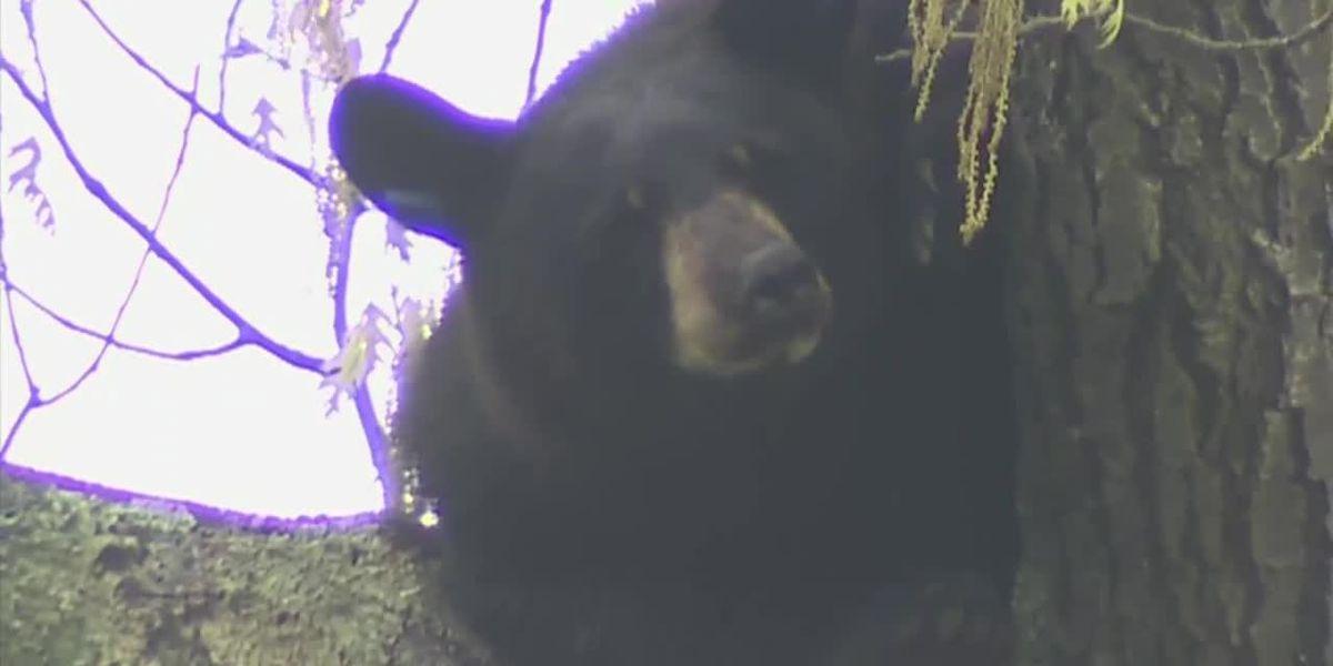 Neighborhood gawks at bear in tree
