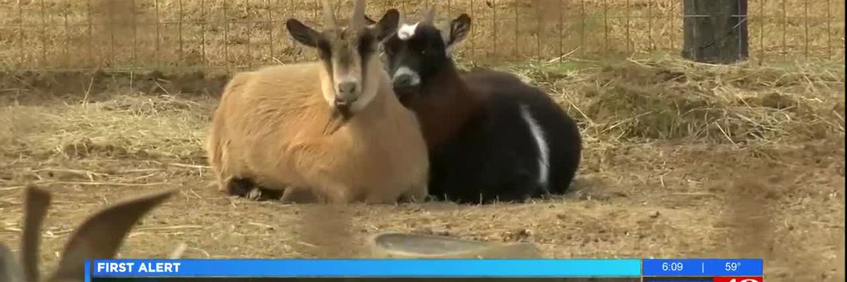 Limestone County goat sale cancelled after owner found