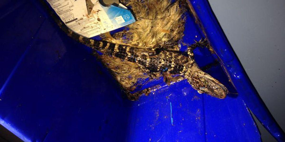 Overnight: Homeowner Finds Alligator In His Huntsville Backyard