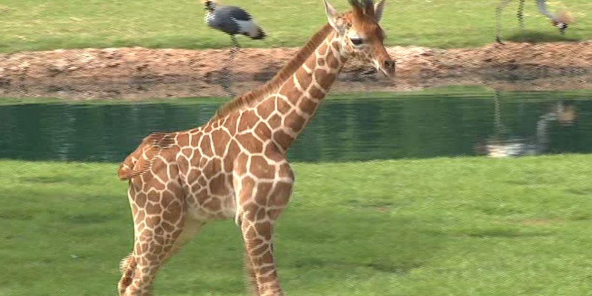 Giraffe dies at the Montgomery Zoo