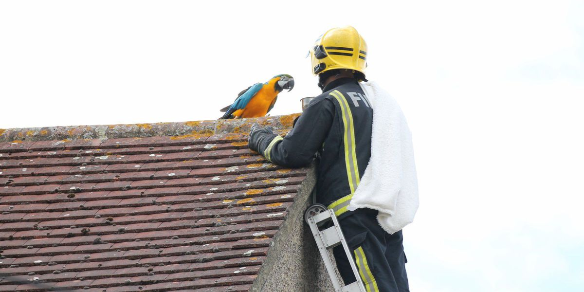 Foul-mouthed parrot curses out firefighters rescuing it from rooftop
