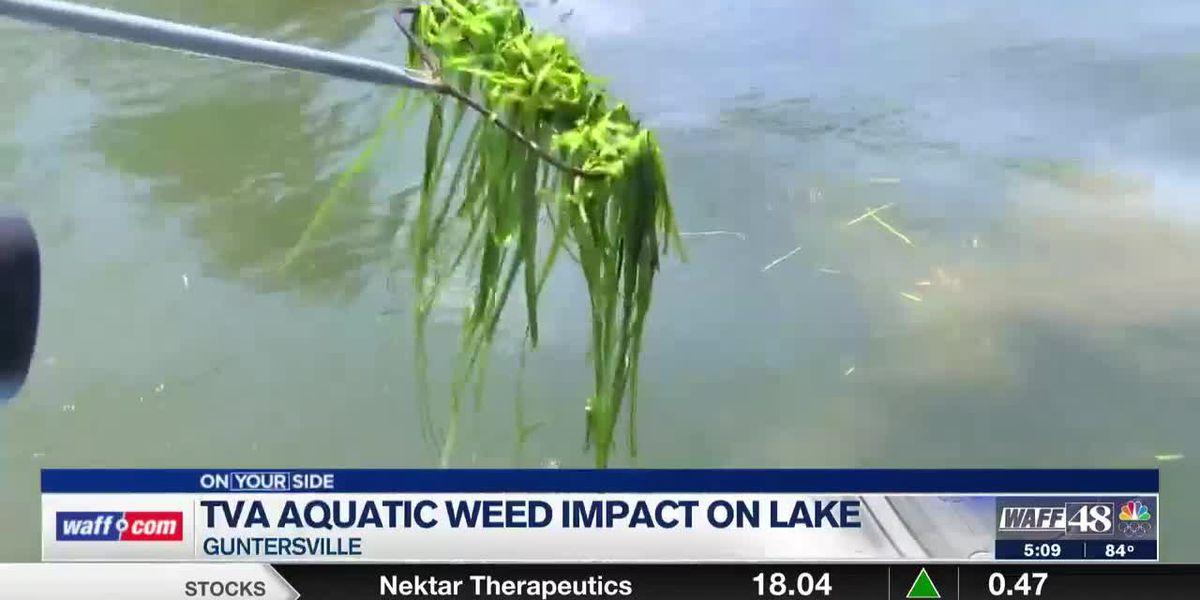 TVA to begin aquatic treatment on eel weeds in Lake Guntersville